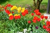 Das Foto zeigt eine Wiese mit blühenden Tulpen