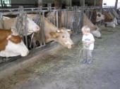 Das Foto zeigt ein Kind im Stall bei den Kühen
